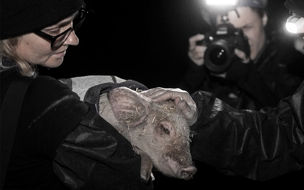 Shmuel being rescued from an RSPCA approved pig farm